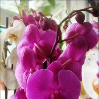 Орхидея :: Нина Корешкова