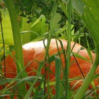 Оранжево-жёлто-зелёные... :: Владимир Гилясев