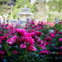 Розы в парке :: Наталья Винникова