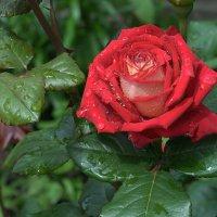 Роза улыбается дождю. :: Ольга