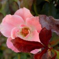 Осенняя роза... :: Тамара (st.tamara)