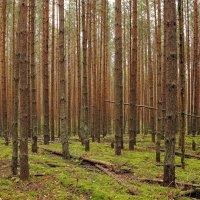 """""""Штрих-код"""" соснового леса... :: марк"""