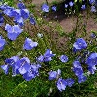 Колокольчики в саду. :: Антонина Гугаева