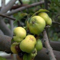 яблоки на ветке :: yurij