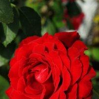 Красная роза :: Nataliya Oleinik
