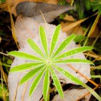 Зелёные пальмы средней полосы Сибири (II) :: Алексей (АСкет) Степанов