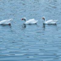 Гуси плывут по озеру :: Сергей Тагиров