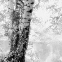 Берёза и осень :: Виталий