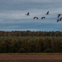 Птицы, изменницы, нас покидают... :: Андрей Вигерчук