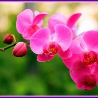 Орхидеи :: Николай Волков
