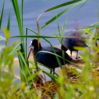лысухи в камышах :: linnud