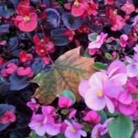 Городские цветы осени на клумбах! Очень красивые! Глаза улыбаются! :: Ольга Кривых