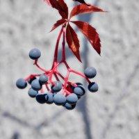 Девичий виноград :: Swetlana V