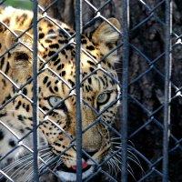 Леопард :: Асылбек Айманов