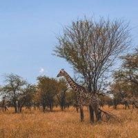 Зной в саванне...Танзания! :: Александр Вивчарик