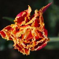 Завихрения тюльпана :: Александр Сивкин