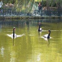 черные лебеди :: Natali Kosheleva