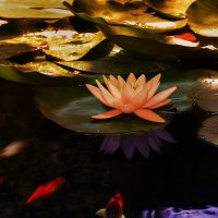 водянная лилия :: alex graf