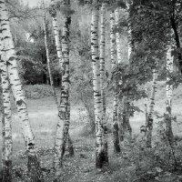 Березы в сентябре :: Надежда Бахолдина