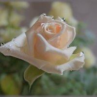А в голове кружился Моцарт,  и аромат от розы чайной. :: Людмила Богданова (Скачко)