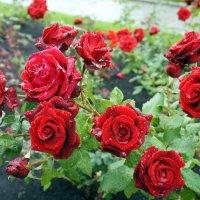 Розы под дождем :: Елена Павлова (Смолова)