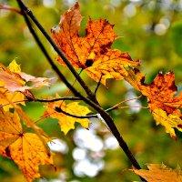 Осенние краски на листьях клена... :: Михаил Столяров