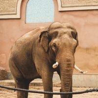 Папа слон :: Anna Enikeeva