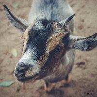 Коза в мини зоопарке :: Anna Enikeeva