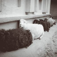 Как будто овца смеется надо мной )) :: Anna Enikeeva