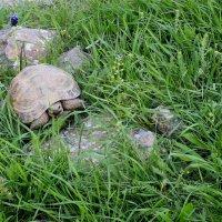 Животные Туркменистана - -черепаха :: Elena Соломенцева
