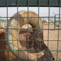 Животные Туркменистана - архар :: Elena Соломенцева