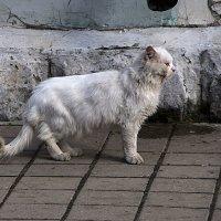 Елецкий кот :: Яков Реймер