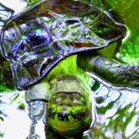 черепаха Тортила :: Таня
