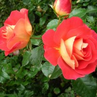 Розы :: Юрий