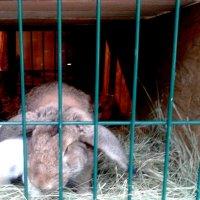 Кролик серый :: Мила