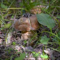 Белый гриб :: Владимир Виттих