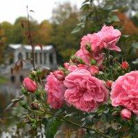 Розы... :: tipchik