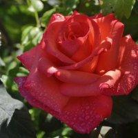роза :: Светлана