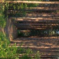 Сосновый лес :: Лала Баймукашева