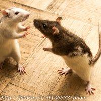 Крысиные бои (по осени особенно свирепы) :: Клиентова Алиса