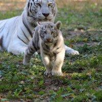 Белый Тигр :: Владимир Шадрин