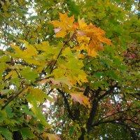 Кленовые листья :: марина ковшова
