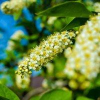 Белые красавицы :: Света Кондрашова