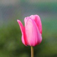 Розовый тюльпан :: Анастасия Мишина