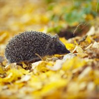 Ёжик в осеннем лесу :: Инна Пивоварова