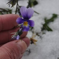 Снежные Анютины глазки :: Tatyana Kuchina