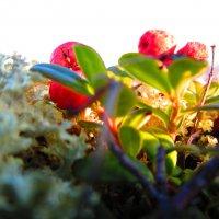Октябрь...первые заморозки...а ягодки все думают,что лето не закончилось еще... :: Людмила Жердева