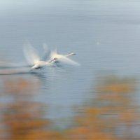 Белые лебеди на рассвете. :: Ирэна Мазакина