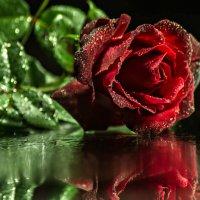 красная роза - эмблема печали :: Tatyana Belova