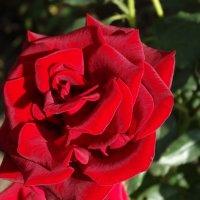 Сентябрьские розы... :: Тамара (st.tamara)